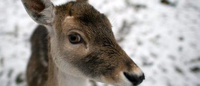 Deer gets lost, wanders into Italian bakery