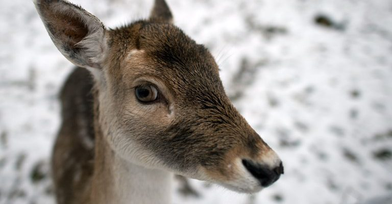 Deer gets lost, wanders into Italian bakery